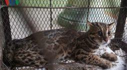Cứu hộ cá thể mèo rừng bị người dân nuôi nhốt