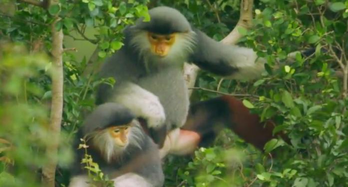 Voọc Chà vá chân nâu Sơn Trà lên National Geographic