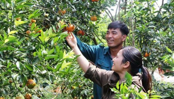 Ngưỡng mộ mô hình cam Canh trên đất Lâm Đồng, thu hơn tỷ đồng/năm