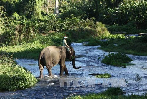 Bảo tồn, phát triển đàn voi ở Đắk Lắk