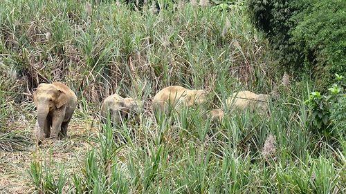 Tạo vùng sinh cảnh cho voi rừng