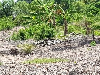 Cây rừng liên tục chết tại rừng phòng hộ ở Cà Mau