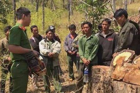 Chặt gỗ giáng hương trong rừng để bán lấy tiền tiêu tết