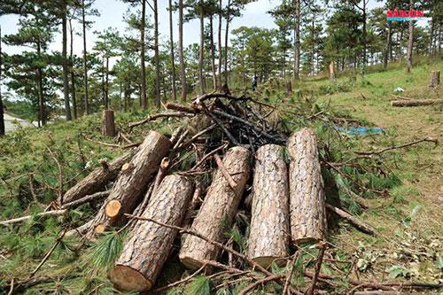 Xử phạt 3 đối tượng phá rừng thông hơn 40 năm tuổi ở Đà Lạt