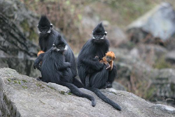 Tuyên Quang bảo vệ 90 cá thể voọc đen má trắng quý hiếm