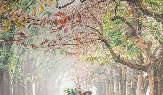 """""""Khóc ròng"""" tiếc hàng cây lãng mạn nhất Hà Nội bị cắt trụi cành"""