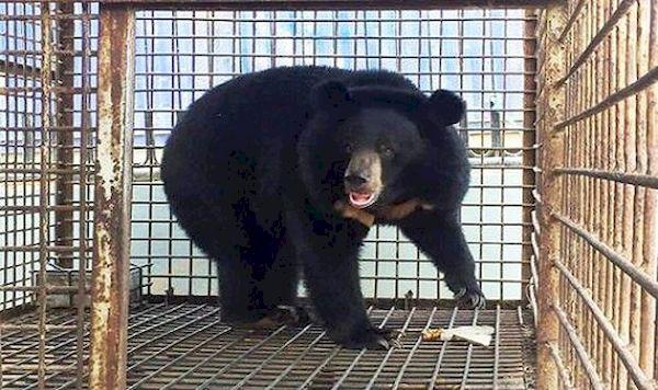Gia Lai vận động các cơ sở giao gấu nuôi cho Nhà nước