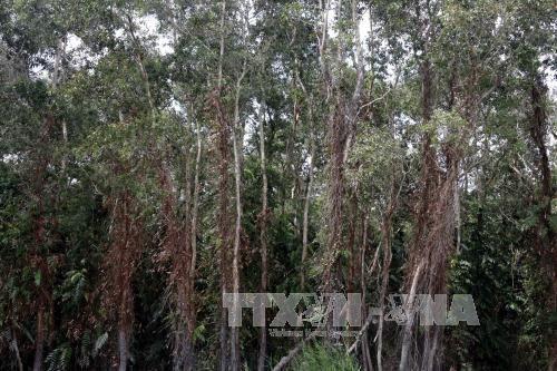 Hàng ngàn ha rừng tràm U Minh Hạ đối mặt với nguy cơ cháy nguy hiểm