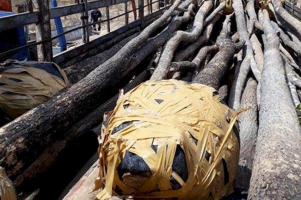 Gia Lai: Nghi vấn đường dây buôn lậu cây giáng hương