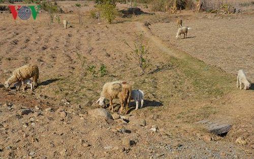 Hạn hán – lời cảnh báo từ vùng đất Panduranga