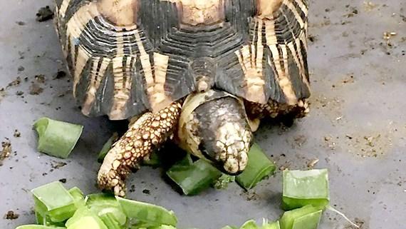 Giải cứu 10.000 con rùa vân tỏa ở Madagascar