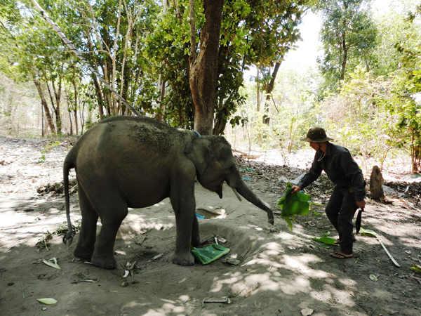 Khẩn cấp bảo tồn voi