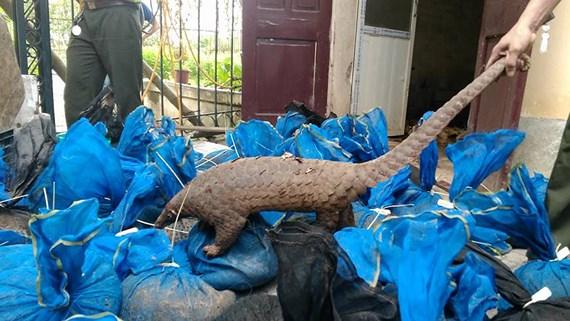 Phát hiện vụ vận chuyển tê tê lớn nhất từ trước đến nay tại Thanh Hóa