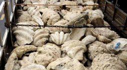 Tiền Giang chuyển giao vỏ trai tai tượng khổng lồ quý hiếm cho cơ quan chuyên môn