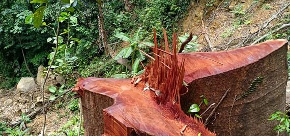 Quảng Bình: Để lâm tặc đốn hạ 100m3 gỗ lậu, Chủ tịch huyện rút kinh nghiệm!