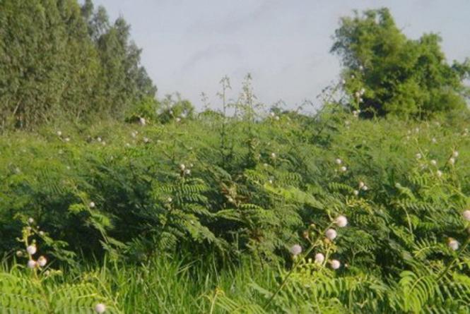 Thử nghiệm diệt trừ thực vật ngoại lai xâm hại VQG Phong Nha-Kẻ Bàng