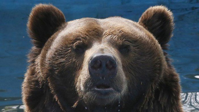 """Gấu là """"tài nguyên chiến lược"""" của an ninh Nga"""
