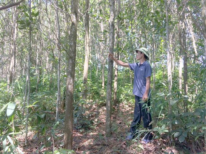 Triển vọng trồng rừng gỗ lớn