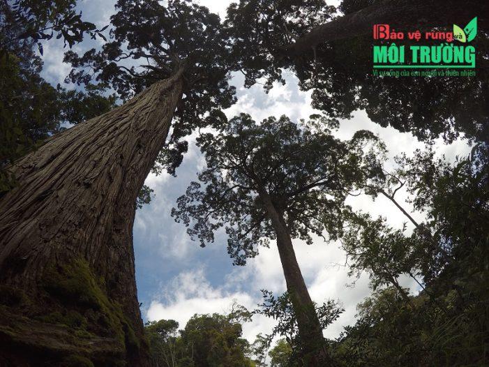 Vẻ đẹp hùng vỹ rừng pơ mu ngàn tuổi ở Quảng Nam