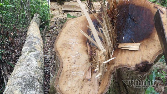 Chi cục trưởng Kiểm lâm TT-Huế: Từ chức nếu rừng bị phá như ở Quảng Nam