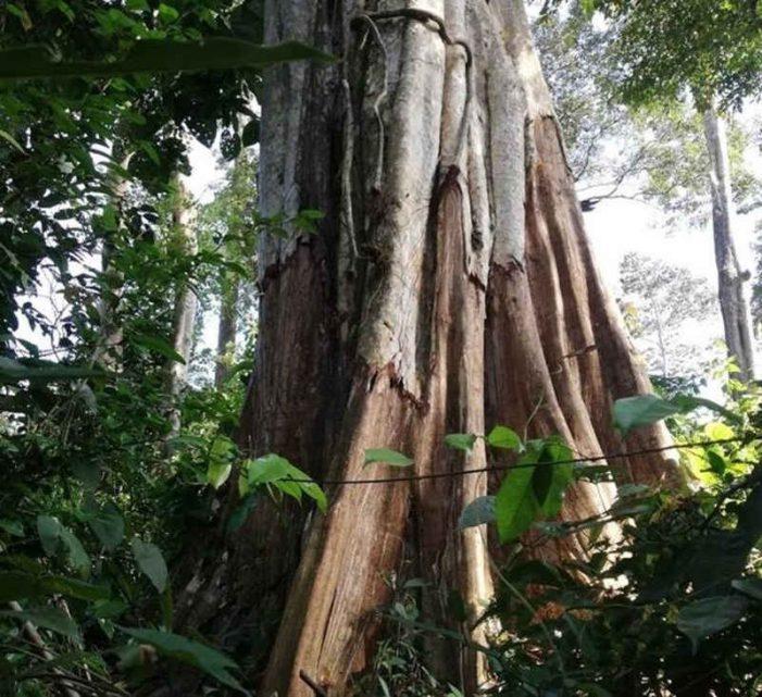 Kiểm tra khẩn vụ bức tử cây rừng để chiếm đất ở Bình Thuận