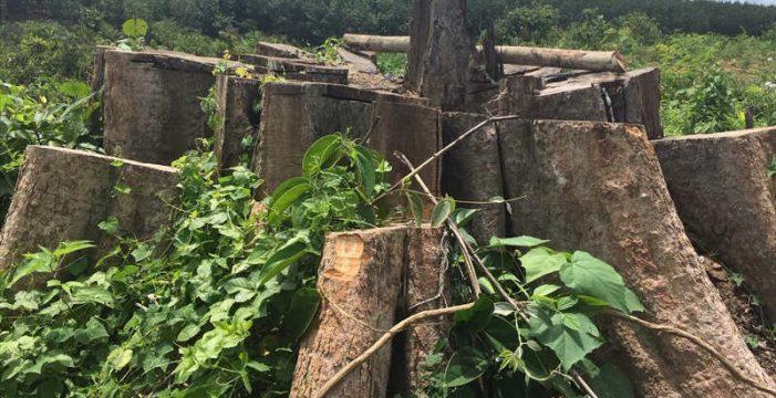 Cận cảnh vụ phá rừng nghiêm trọng xảy ra ở tỉnh Bình Phước