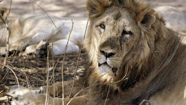 Sư tử châu Á sắp tuyệt chủng vì đại dịch từ chó hoang