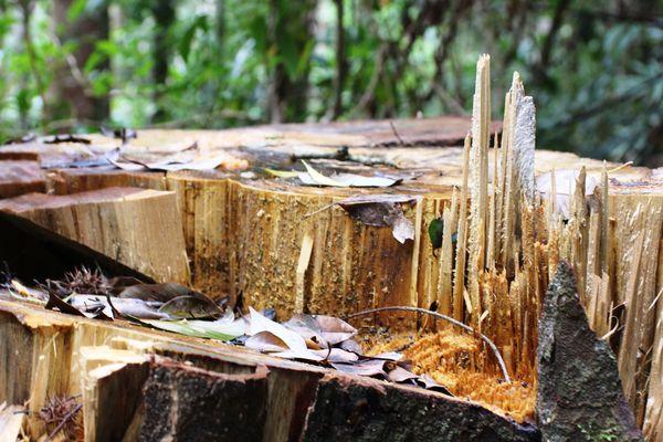"""Vì sao lâm tặc dễ dàng xâm hại rừng tự nhiên, """"xẻ thịt"""" cây cổ thụ"""