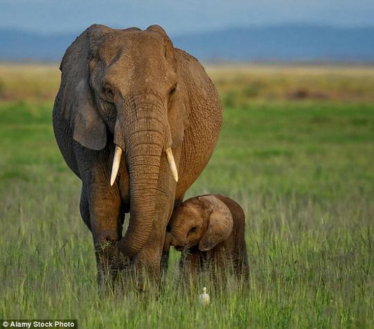 Kenya thúc giục cấm buôn bán ngà voi