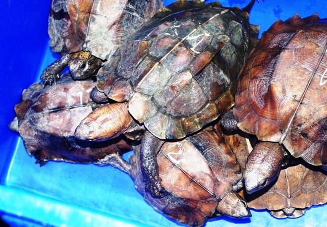 """Cục Kiểm lâm lên tiếng vụ """"phù phép"""" rùa quý hiếm thành rùa nuôi"""