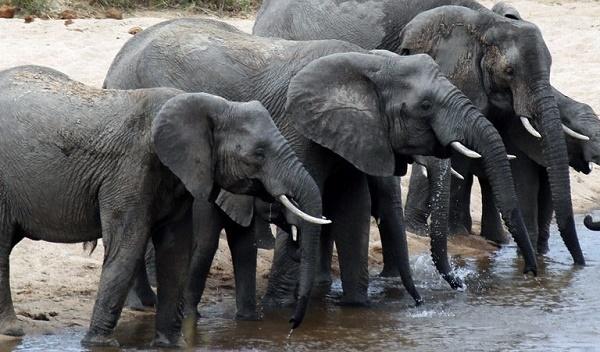 Singapore đề xuất lệnh cấm ngà voi