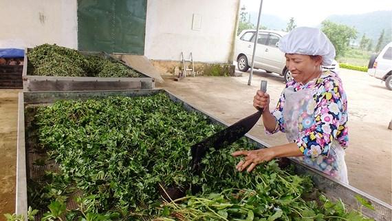 Bảo tồn và phát huy giá trị cây thuốc Việt – Bài 2: Xóa nghèo từ cây thuốc
