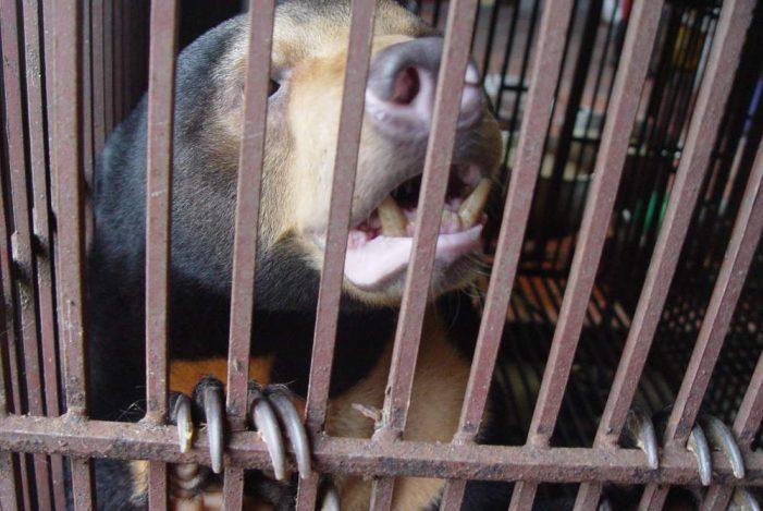 Thách thức và hệ quả của việc nuôi gấu lấy mật ở Việt Nam