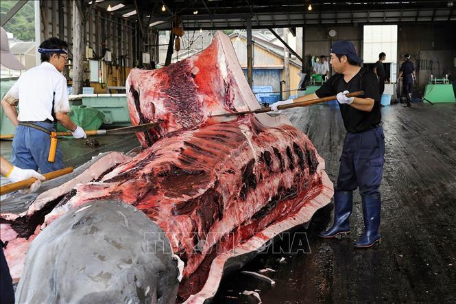 Nhật Bản nối lại hoạt động đánh bắt cá voi thương mại