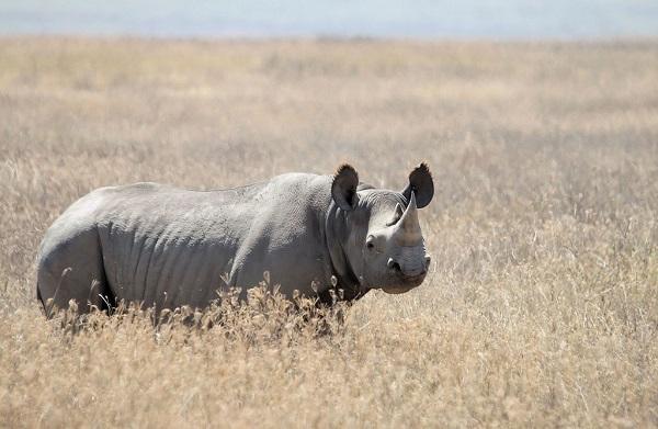 4 cá thể tê giác đen ở Nam Phi chết sau khi chuyển vị