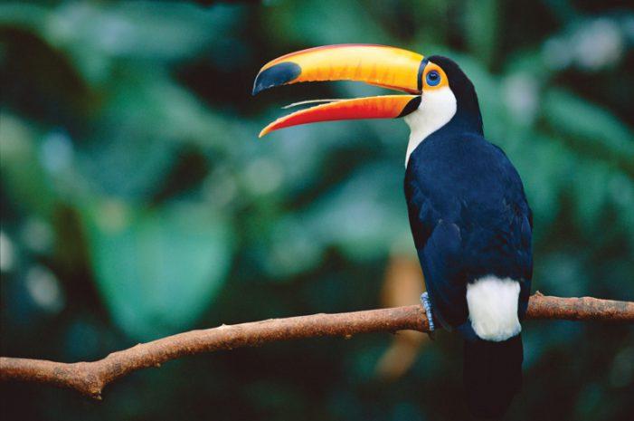 Cấm buôn bán chim ở Nam Mỹ chưa phải là giải pháp hay