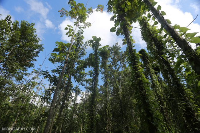 Rừng tái sinh lâu năm hút CO2 hiệu quả hơn rừng già