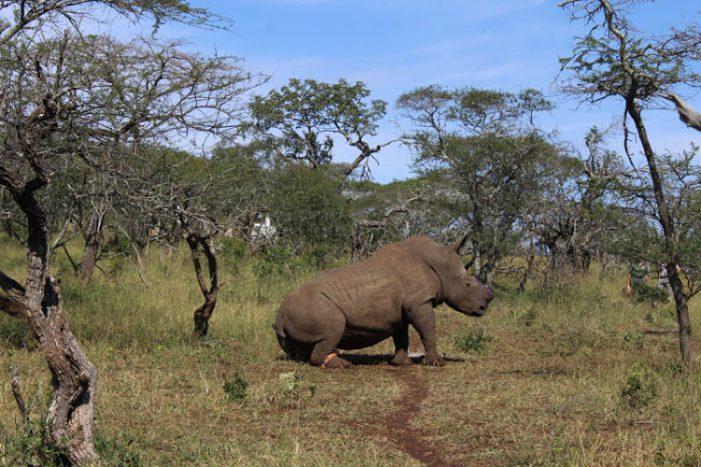 Lần đầu tiên, tê giác bị săn trộm tại Nam Phi giảm xuống dưới 1.000 cá thể