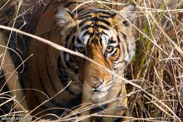 Ấn Độ – Nepal hợp tác bảo tồn hổ, tê giác xuyên biên giới