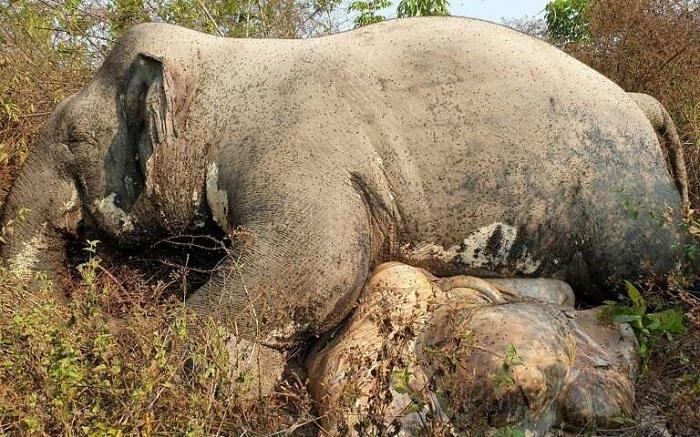 Voi trong khu bảo tồn ở Campuchia bị giết