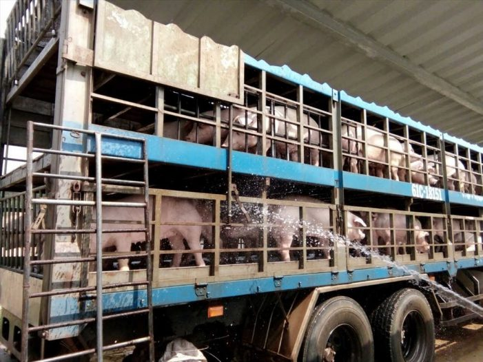 Dịch tả lợn Châu Phi: Thủ tướng đồng ý nâng mức hỗ trợ tiêu hủy