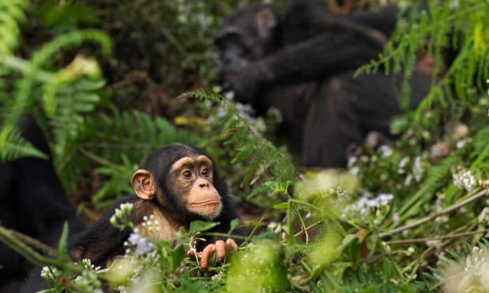 Dự án đập của Trung Quốc ở Guinea có thể giết chết 1.500 cá thể tinh tinh