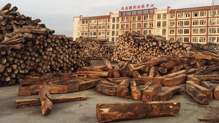 Buôn bán gỗ trắc: Con đường bất hợp pháp từ rừng đến nội thất
