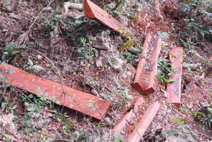 Lâm tặc hạ 45 cây gỗ mun quý hiếm giữa VQG Phong Nha – Kẻ Bàng