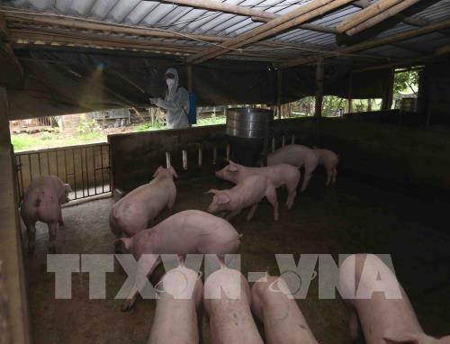 Làm rõ thông tin FAO khuyến nghị Việt Nam ban bố tình trạng khẩn cấp về dịch tả lợn