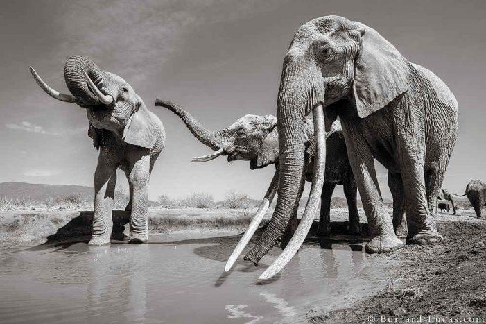 Ảnh hiếm về loài voi có ngà to như voi ma mút cổ đại
