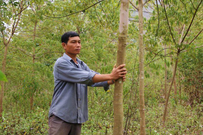 Tranh cãi gay gắt về hiệu quả cây cao su ở vùng Tây Bắc