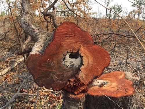 Cần xử lý nghiêm các tập thể, cá nhân liên quan vụ phá rừng ở Đắk Lắk