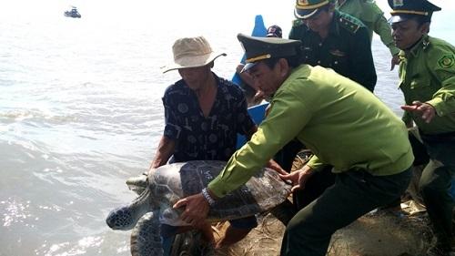 """Cà Mau: Cá thể rùa biển """"khủng"""" được thả về biển"""
