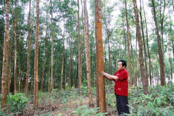 Trồng rừng FSC ở TT-Huế được đánh giá cao
